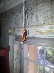 09 10 16 dead roach hanging at barbarossa